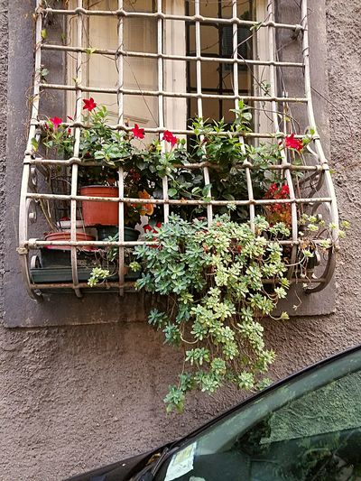 Window Plant Life Window Sill Potted Plant Lucca Italy My Year My View