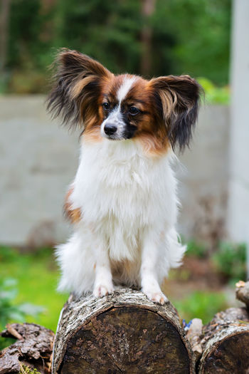 Outdoor portrait of a papillon purebreed dog