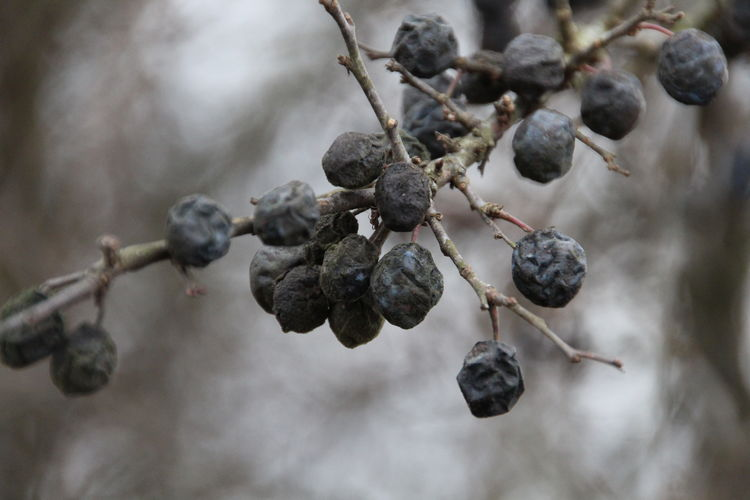 ROTTING Fruit Focus On Foreground Close-up Growth Tree Berry Fruit Plant Nature Outdoors Selective Focus Beauty In Nature Ripe Rotting Sadness Sad Depression Cold Coldcolours Outside Photography Outside Beuty Melancholic Landscapes Melancholy Black Berry Details Wrinkled Nature Waling Around Hiking Canon Canonphotography