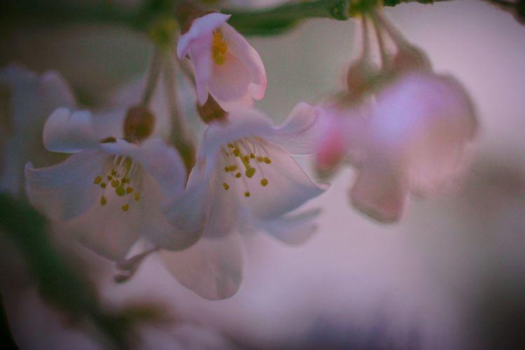 ふんわり。 Relaxing Spring Time EyeEm Nature Lover White Background Bokeheffect Spring 春 Spring Colours Cherry Blossoms Sakura 桜 Pink Airy Flowers Blossom Airy Dreamfantasy Bokeh Macro Nature Macro