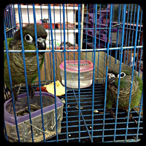 Greencheek conure. :)