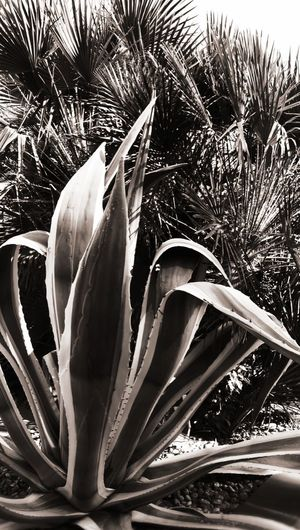 Black And White Nature Cactus Cactus Garden Close-up Plant Flower Head Plant Life