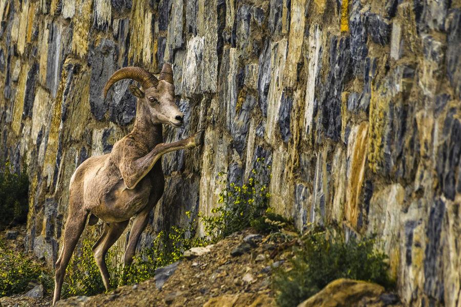 Rocky Mountain Bighorn Sheep - Glacier National Park Bighorn Sheep Horns NIKON D5300 Nature Ovis Canadensis Peace RAM Close Up Day Glacier National Park Mammal Mountain Nature No People Rocky Mountains Wild Animals Wildlife