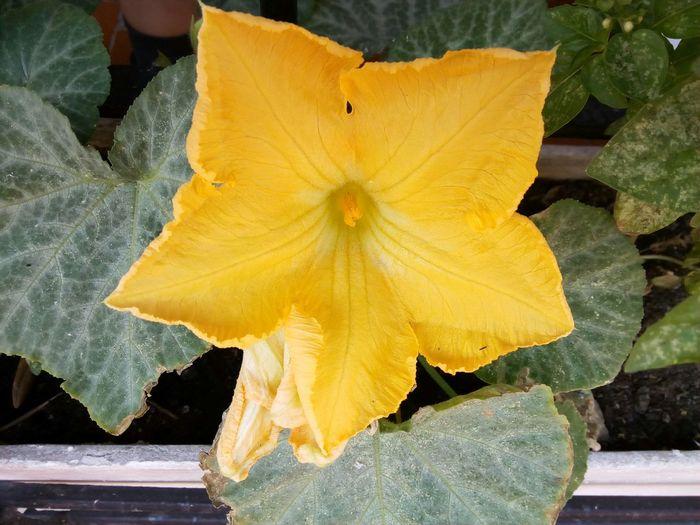 Calabaza Flor Calabaza Flower Flower Nature Flor Flor Natural Nature Naturaleza Natur