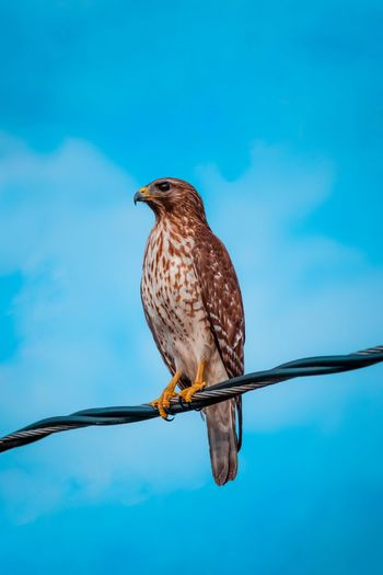 Low Angle View Of Hawk Perching On Cable Against Blue Sky