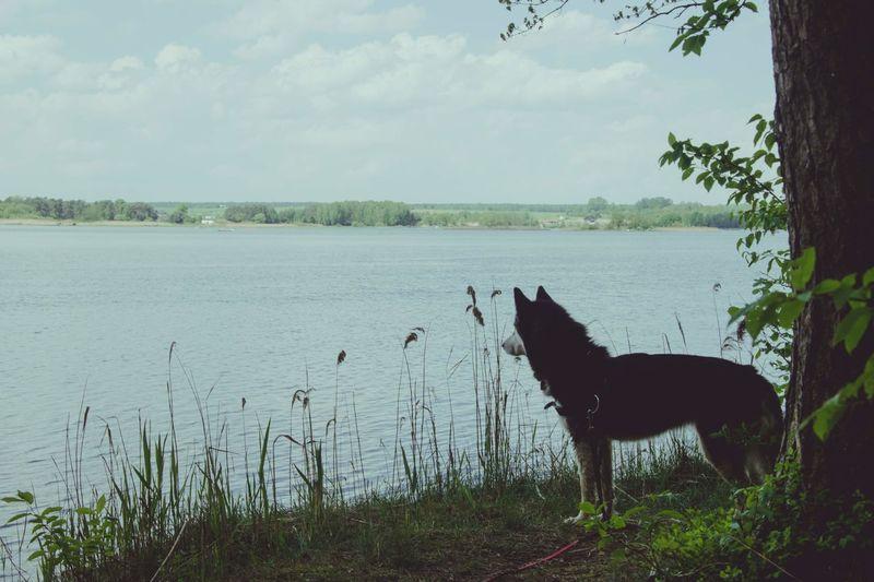 W poszukiwaniu łabędzi. Dog Husky Syberianhuskey Zalew Free Freetime Photos Sky Animal Themes First Eyeem Photo