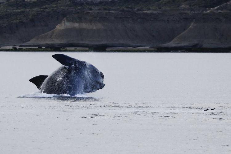 Southern right whale, eubalaena australis, breaching in golfo nuevo, valdes peninsula, argentina