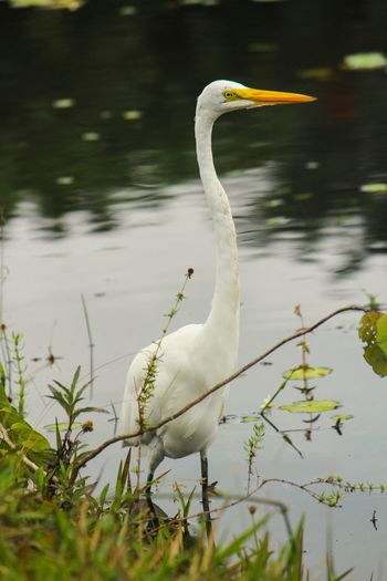 White Bird One Animal Animals In The Wild Animal Themes White Color Bird Lake Animal Wildlife Nature Day No People Outdoors Great Egret Water Beauty In Nature Close-up