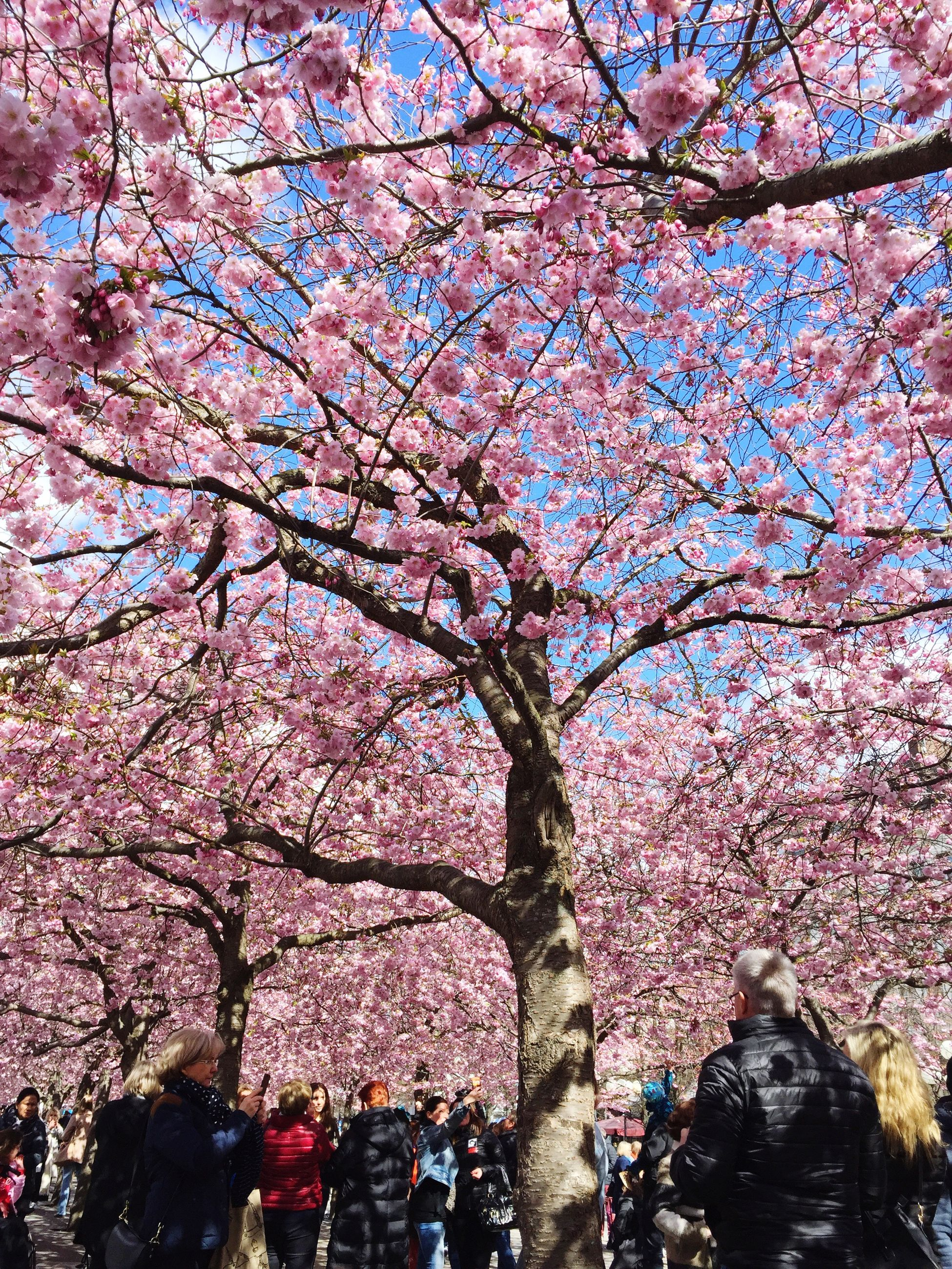 tree, flower, cherry blossom, cherry tree, branch, large group of people, blossom, person, pink color, growth, freshness, men, lifestyles, springtime, nature, beauty in nature, fragility, leisure activity, low angle view
