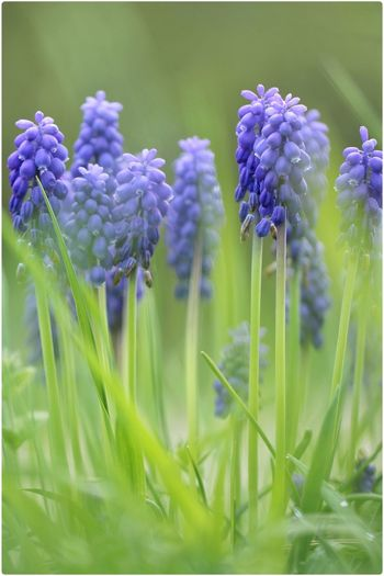 Close-up of grape hyacinth in field
