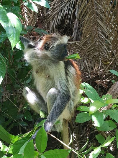 Colobus Monkey Growth Plant Part Leaf Green Color Day