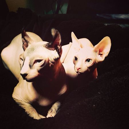 A couple of streakers in my home Sphynx Elf Hairless Cat Cat