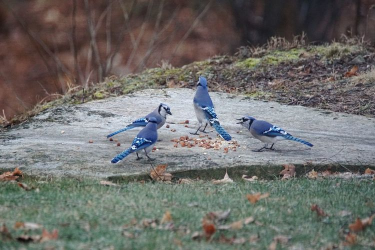 High angle view of blue jay birds eating seeds on concrete