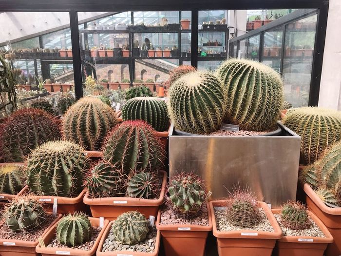 Cacti Garden Cacti Large Group Of Objects Day For Sale Retail  Arrangement Variation Business Plant Cactus Greenhouse Market Growth Nature Stack