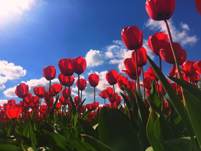 Flowerporn Tulips🌷 Transparent Spring Flowers Holland Surreal Translucent _Petals 2015  Natures Beauty... Coloursplash