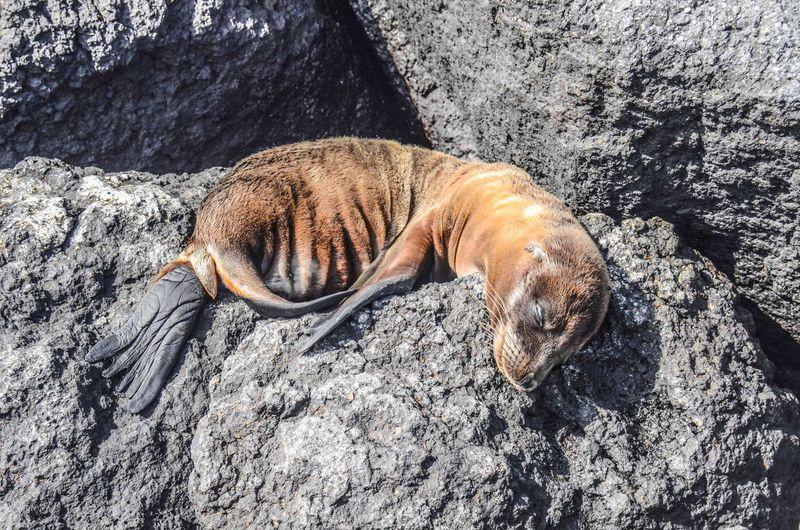 Seal sleeping on rock