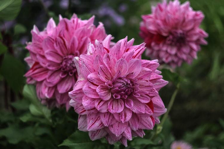 Close-up of pink dahlia flowers