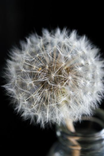 Close-up of dandelion against black background