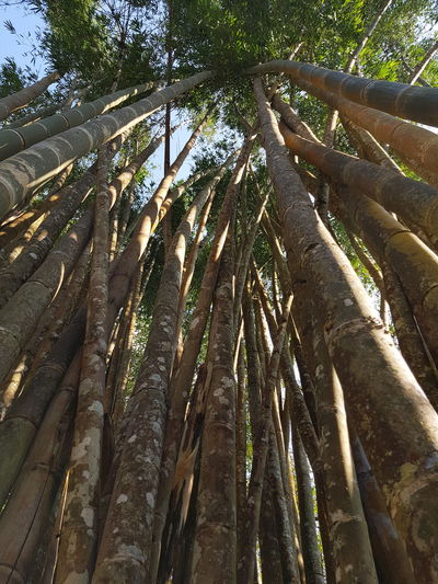 big bamboo in phuping palace Travel Thailand Bhuping Palace Doisuthep Doipui Tree Nature Growth Day Outdoors Forest Low Angle View Full Frame Bamboo - Plant Bamboo Grove Beauty In Nature Tree Trunk Tranquility Backgrounds No People Branch