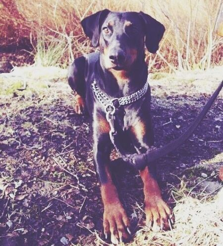 My Dogs Are Cooler Than Your Kids Doberman  My Girl ♡  Beauty!
