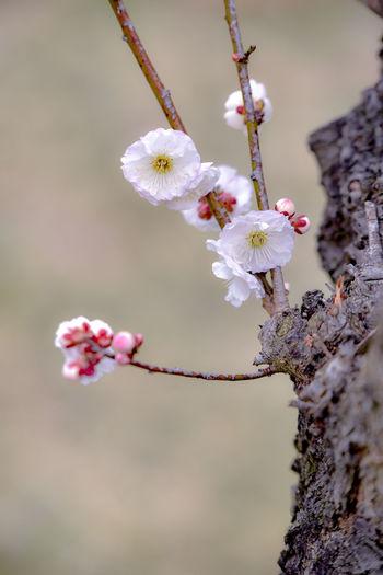 Plum Ume Plumblossom Photography Flower Plum Blossom Japan