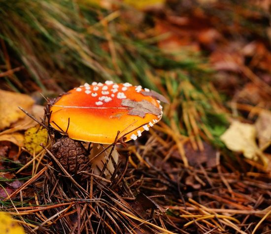 Autumn in Moscow. Amanita muscaria mushroom. Mushroom Close-up Focus On Foreground Nature Brown Outdoors Beauty In Nature No People Day Growth Mushrooms Toadstool Autumn Ground Poison Danger Russia First Eyeem Photo