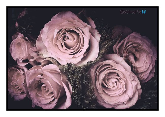 """""""Faded roses"""". Faded Roses Roses🌹 Roses Flowers  Roses_collection Roses Roses World 🌹❤️🌹 Faded Colors Faded Color Faded Beauty No People, Just Flowers Love Roses Love_flowers"""