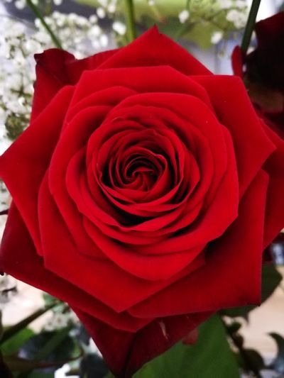 Rote Rose Nature Liebe Geburtstag Schatz Flower Nature Rose - Flower Petal Flower Head Growth Fragility