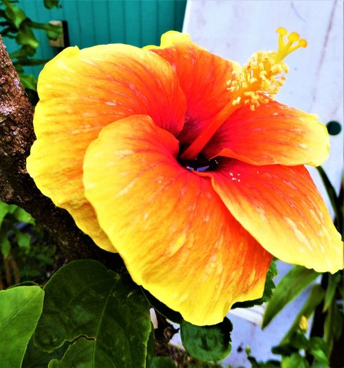 Hibiscus 🌺 Beauty In Nature Blooming Close-up Day Drop Flower Flower Head Fragility Freshness Growth Hibiscus Leaf Nature No People Outdoors Petal Plant Tropical Climate Water Wet