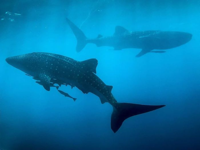 Whale Sharks Swimming In Sea