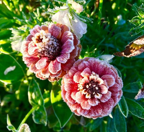 Beauty In Nature Nature Growth Plant Outdoors Day No People Flower Leaf Green Color Close-up Fragility Freshness Flower Head Frozen Frost