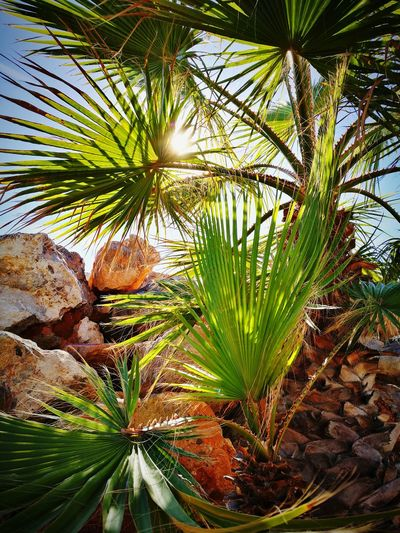 Rayos de Sol Nature Aguadulce Almería Southernspain Mediterranean  Sun Rocks Sunlight Growth Plant Leaf Green Color Beauty In Nature Close-up Palm Tree Day No People Outdoors Tree Freshness