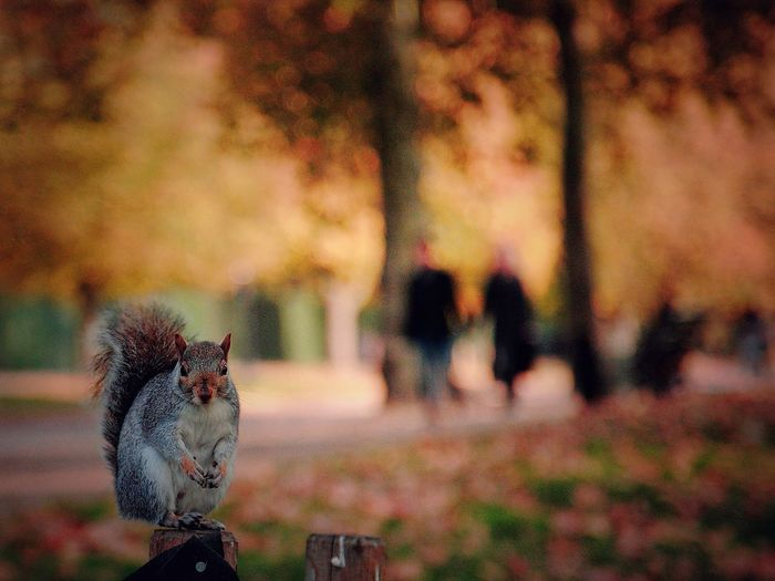 Portrait Of Squirrel On Wooden Post At Park