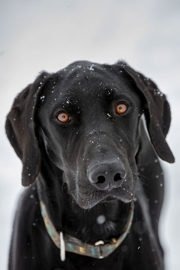 Close-up portrait of black dog during winter
