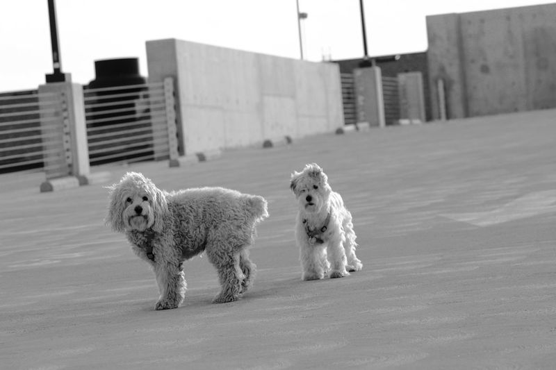 Full length view of hairy dogs