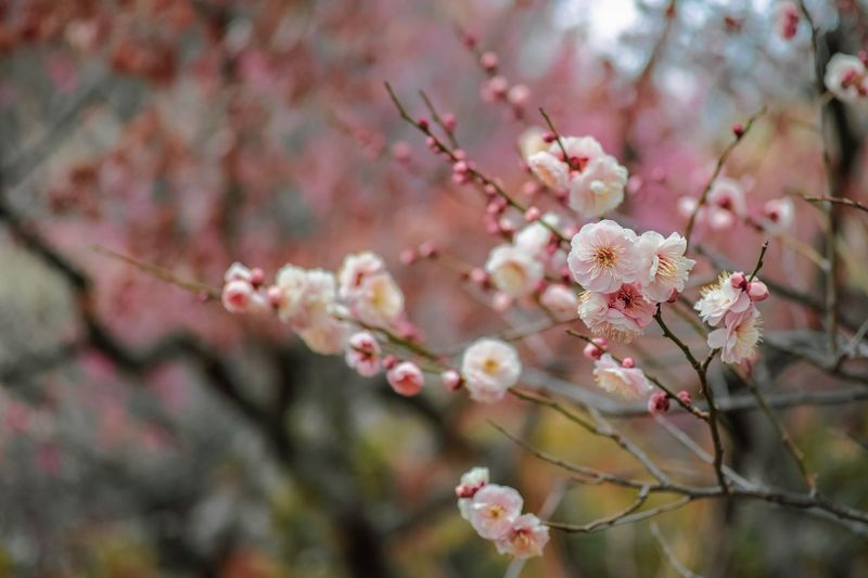 Plum Blossom Flowers Flower Collection Flowerporn EyeEm Nature Lover Nature Nature_collection Nature Photography Taking Photos EyeEm Best Shots EyeEm Gallery From My Point Of View The Week on EyeEm Flower Growth Flowering Plant Plant Beauty In Nature Freshness Fragility Branch Blossom Pink Color Nature Petal