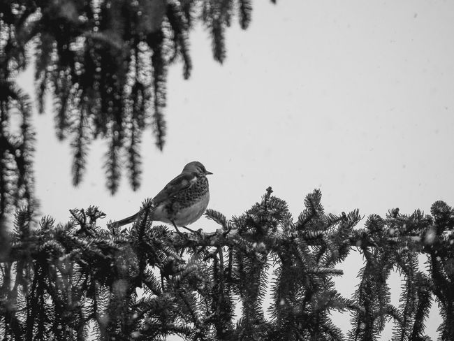 TreesInTheCity Vogel Animal Themes Animal Wildlife Animals In The Wild Beauty In Nature Bird Close-up Nature One Animal Tree Trees In Black & White Vogelfotografie Winter Wonderland EyeEmNewHere