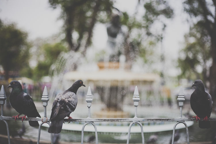 pigeons sit on a fence in a park Bird City City Life Day Enjoyment Focus On Foreground Fountain Leisure Activity Lifestyles Men Outdoors Park Park - Man Made Space Person Pigeon Pigeons Stage - Performance Space Thailand Tree Water