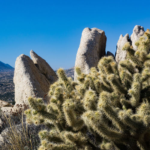 Panoramic view of cactus against clear blue sky