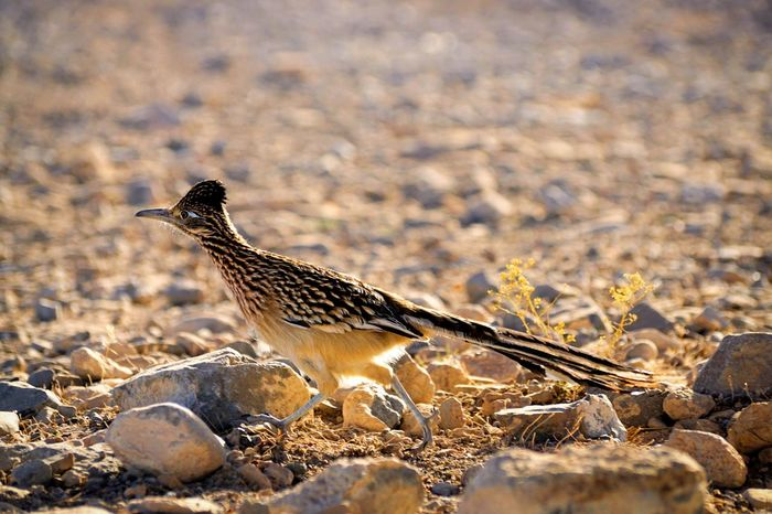EyeEm Selects Roadrunner One Animal Animals In The Wild Animal Themes Animal Wildlife Bird No People Day Focus On Foreground Side View Outdoors Nature Desert Arid Climate Full Length Close-up Mammal