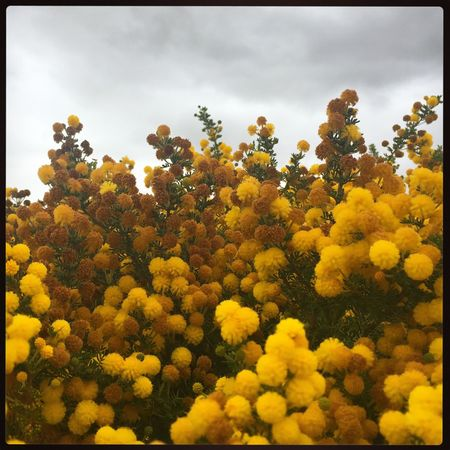 Wildflowers in Bloom Yellow Nature Growth Flower Plant Beauty In Nature Freshness Outdoors No People Sky Pollen Hayfever Wattle Wattle Flower