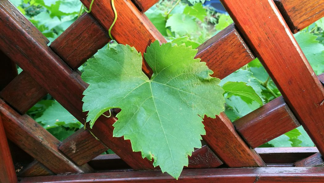 Wine Leaf Weinblätter Green Leaf, Fresh And Beautiful Grünes Blatt Pergola Garden Fence Garden Photography My Garden Flowers,Plants & Garden Flowers, Nature And Beauty Grape Leaf  Home Is Where The Art Is