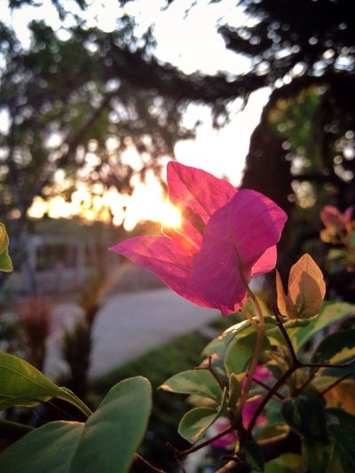 mornings are irresistible; my forever love🌞❤️ Sunrise_sunsets_aroundworld Sunrise_Collection Sunshine Sunrise Lovers Bougainvillea Flower Sunrays Morning Morning Light Morning Love My Addiction ❤ My Happiness Colorful Moments Good Morning Happy Moments Eyeem Mornings EyeEm Flowers Collection Eyeem Philippines Eyeem Bohol EyeEm Gallery EyeEm Nature Lover Mobile Photography Home Sweet Home Countryside