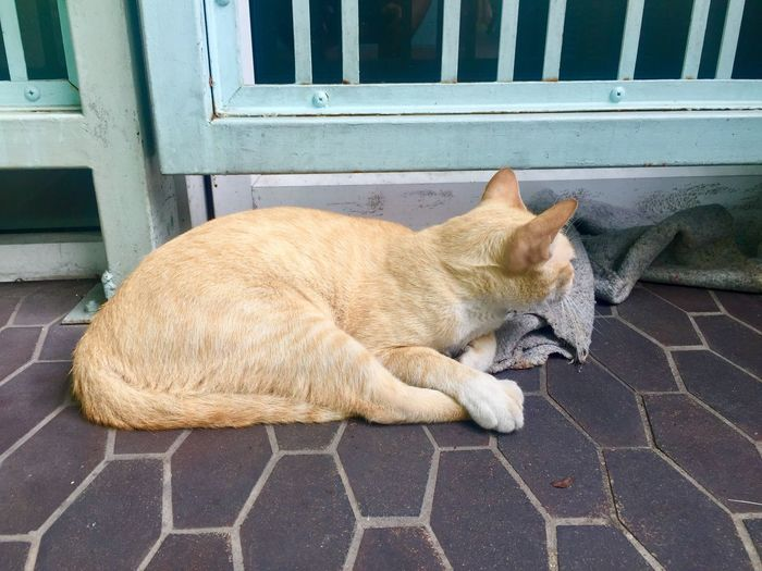 Yellow cat hiding Thai Street Cat Mammal Feline Pets Cat Domestic Animals One Animal Animal Themes Domestic Lying Down Animal Resting No People Vertebrate Domestic Cat Sleeping Day High Angle View Relaxation Eyes Closed  Footpath