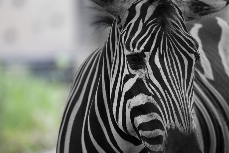Portrait of zebra in a grassland.