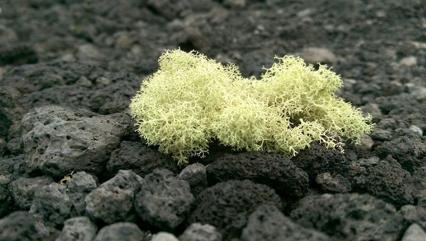 Check This Out Roadside Moss & Lichen on Lavafield in South Kona Bigisland Beautiful Hawaii 808state