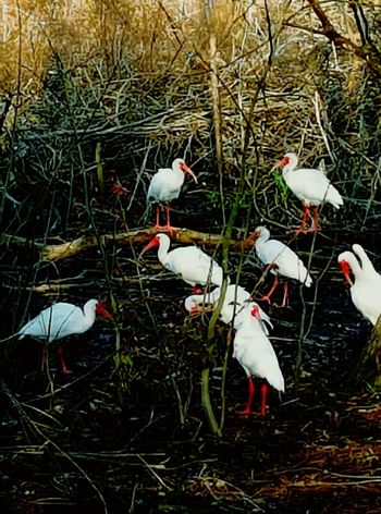 Animal Animal Themes Animals In The Wild Bayou Lif Bayou Wildlife Beak Bird Birds In Nature Nature No People Perching Swamp Life Swamp Wildlife White White Bird Wildlife