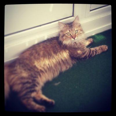 Cat Cute Chillen Relax tygaeyeskatzesüß