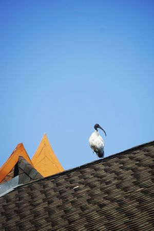 Bird Blue Clear Sky Built Structure Architecture Animal Themes Roof Building Exterior Low Angle View One Animal No People Sky Outdoors Animals In The Wild Antenna - Aerial Day Nature Zoo