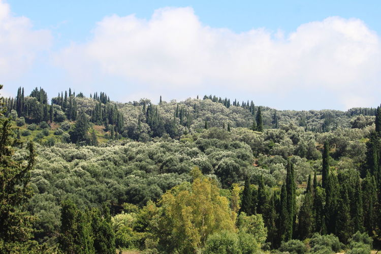 Panoramic view of pine trees in forest against sky